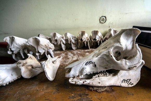 Galvijų kaukolės