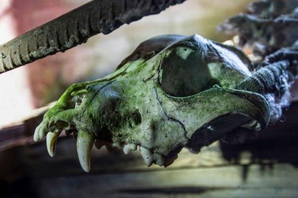 Gyvūno kaukolė